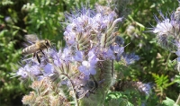 Imkerei Phaceliafeld Schleinbach Matt Bee Honey Carnica Biene