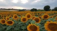 Bio-Sonnenblumenhonig 250g